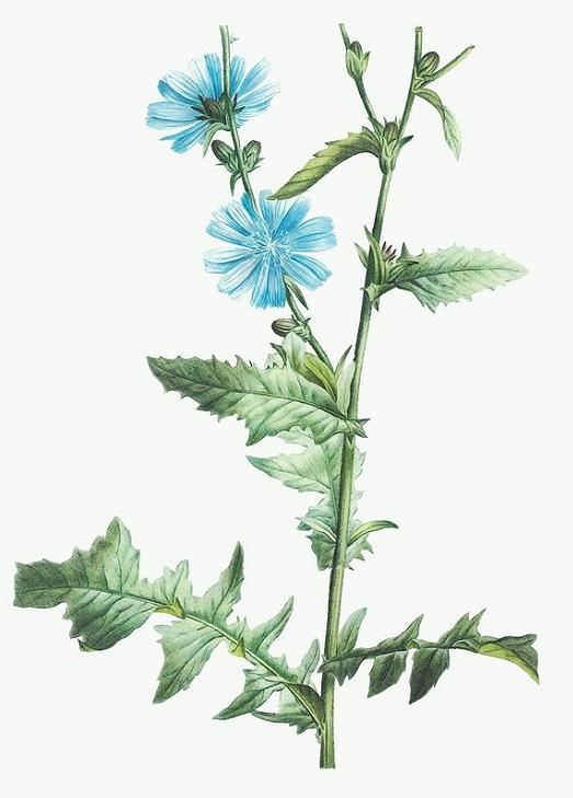 Achicoria planta