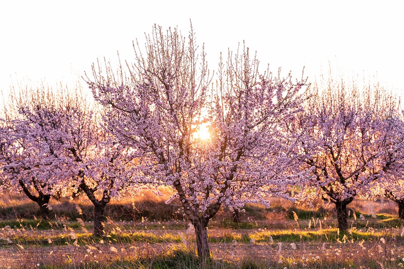 Almendros en flor - Unsplash Pedro Sanz