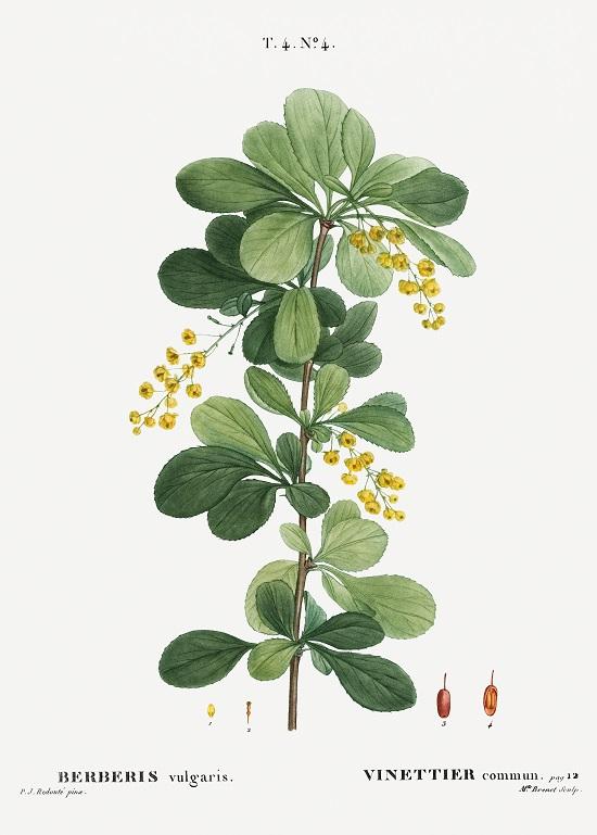 Berberis vulgaris -  rawpixel