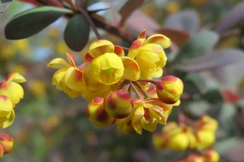 Berberis hispánica