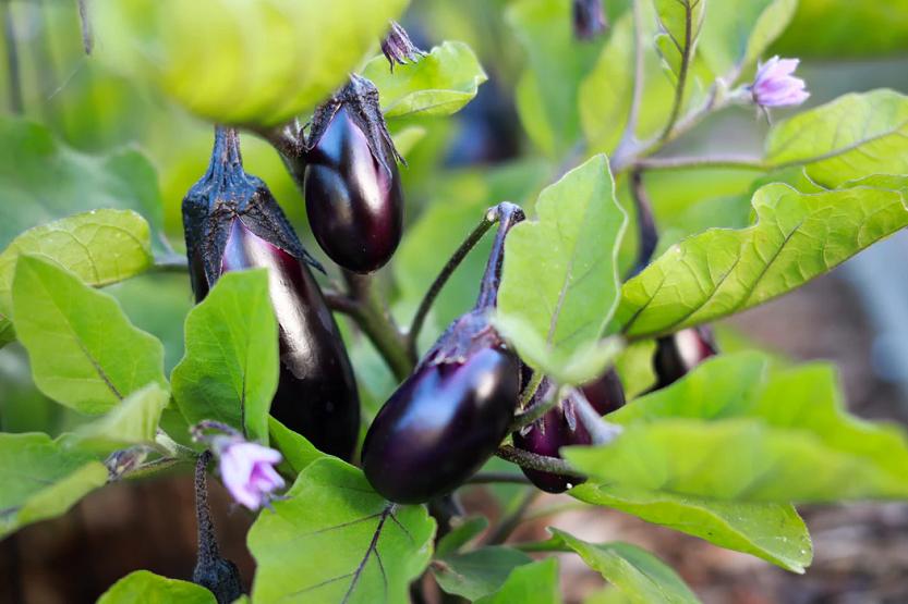 Berenjena, verdura de temporada