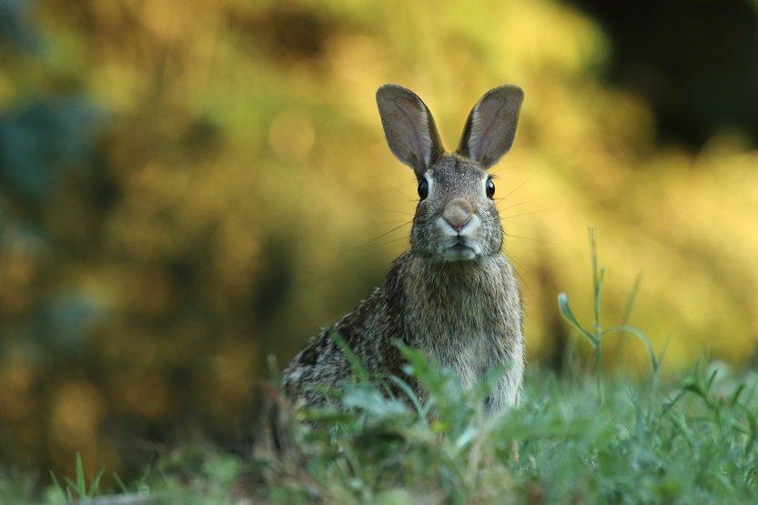 Conejo al ajillo, una carne sana y sabrosa.