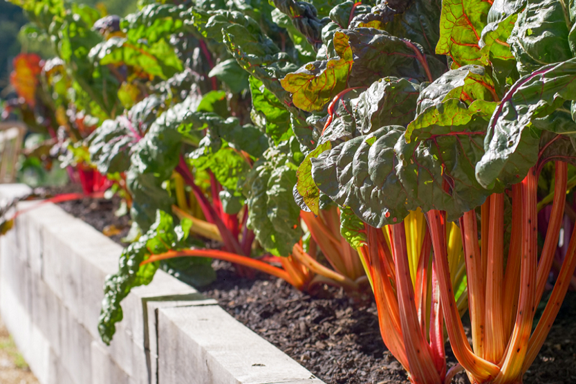Ruibarbo, ventajas e inconvenientes de esta verdura