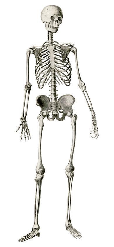Sistema óseo - Rawpixel