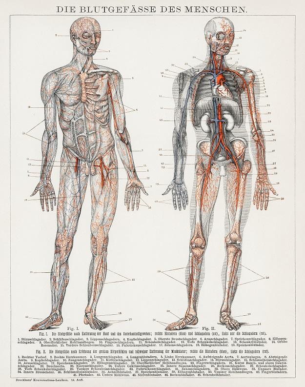 Venoruton y el sistema sanguíneo